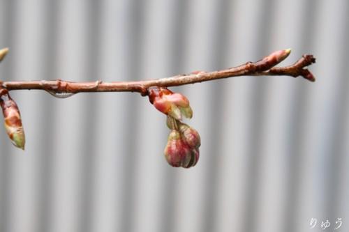 桜が咲いたよ♪03