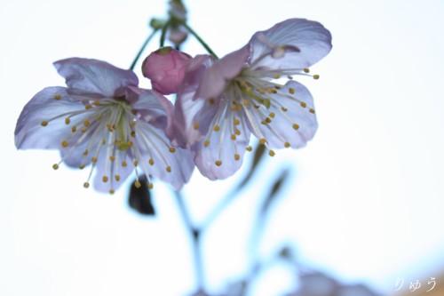 桜が咲いたよ♪07