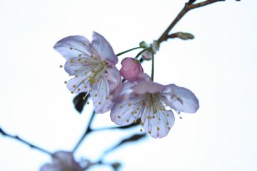 桜が咲いたよ♪08