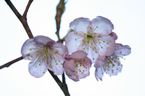 桜が咲いたよ♪09
