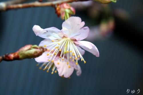 桜が咲いたよ♪06