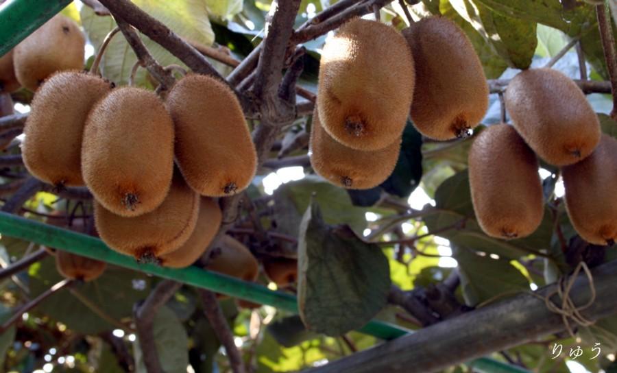 キウイフルーツ01