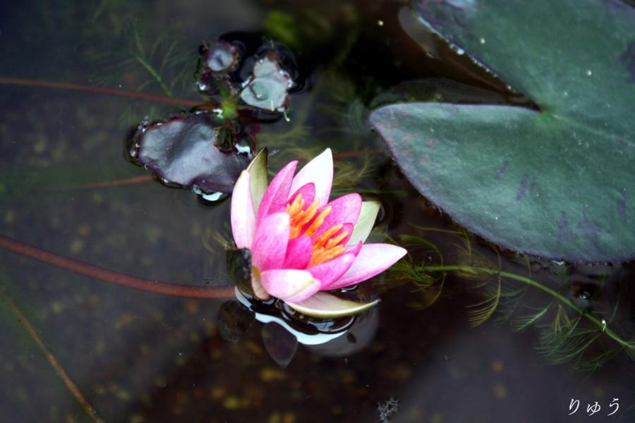 ミニ睡蓮の花02