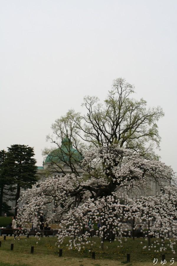 東京国立博物館の桜03