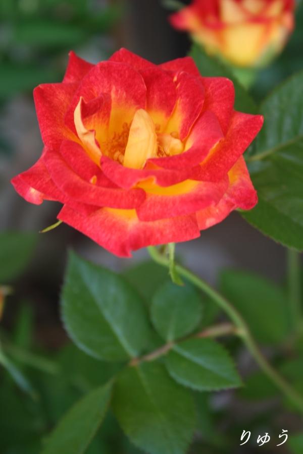 ミニバラ・赤&黄